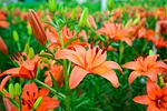 flower, gardens