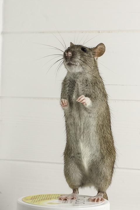 Гризачи, Бозайници, Плъх, Mouse, Животните, Сладък