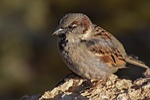 sparrow, nature, bird
