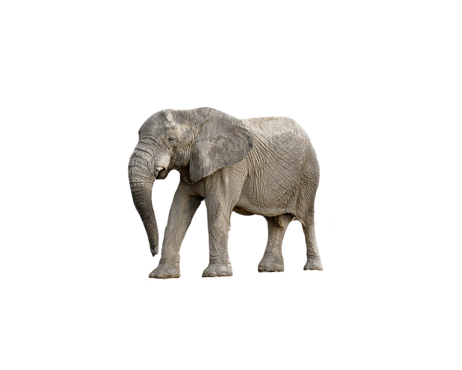 baby elephant white background best elephant 2017