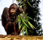 monkey, ape, orangutan