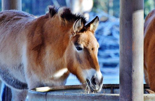 Muli, Mule, Beast Of Burden, Donkey