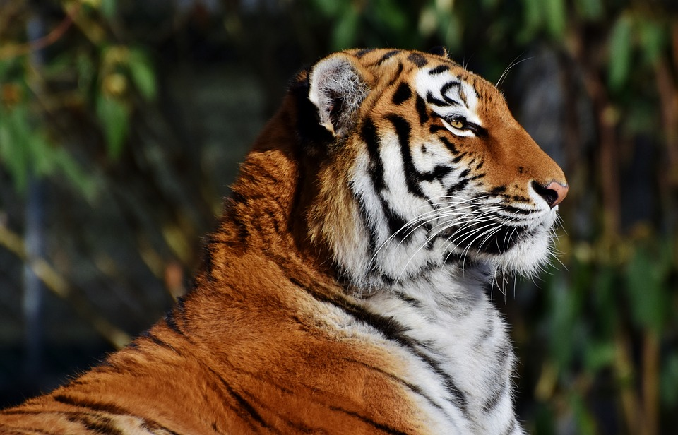 Tigris, Nagy Macska, Ragadozó, Vadmacska, Big Cat