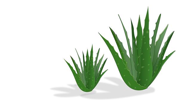 Aloe Vera, Ayurveda, Aloe Vera Plant