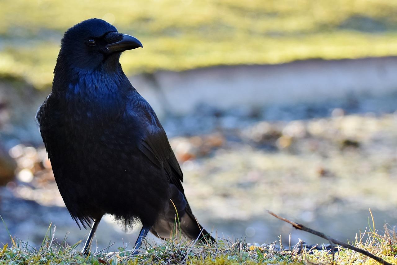 фото черных воронов еще для