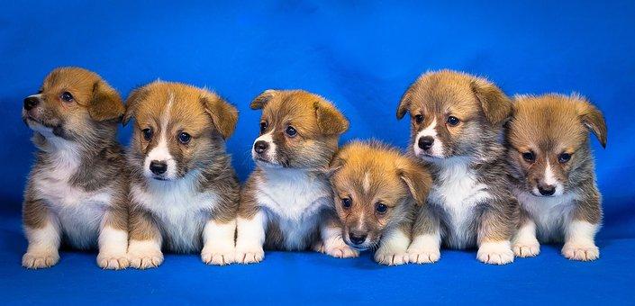 Welsh Corgi, Pembroke, Dog, Puppy