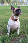 french bulldog, dog, cute