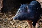 pig, animal