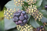 ivy, umbel, fruit