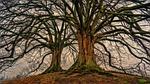 drzewo, charakter, drewna