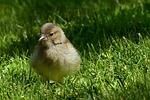 animal, bird, chaffinch