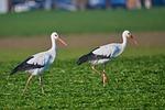 stork, pair, grass
