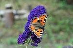 purple, butterfly
