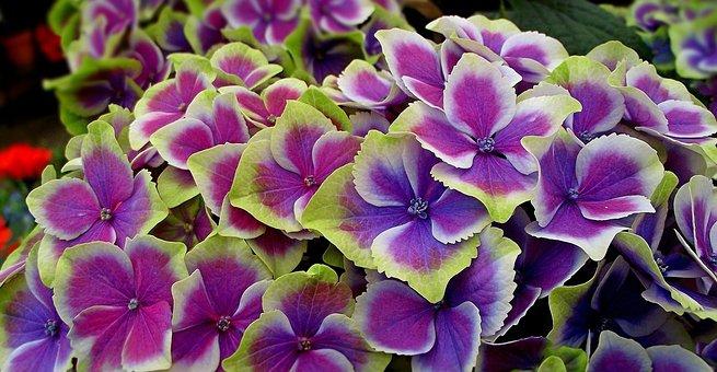 Hortensias Imagenes Pixabay Descarga Imagenes Gratis