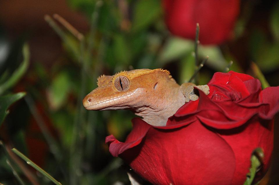 Animal, Lizard, Gecko, Crested Gecko, Reptile, Flower