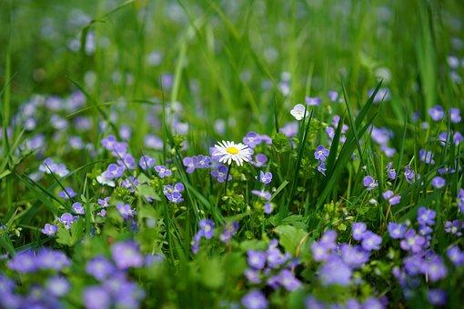 デイジー, 名誉賞, Chamaedrys, 花, 青, 白, ライトブルー