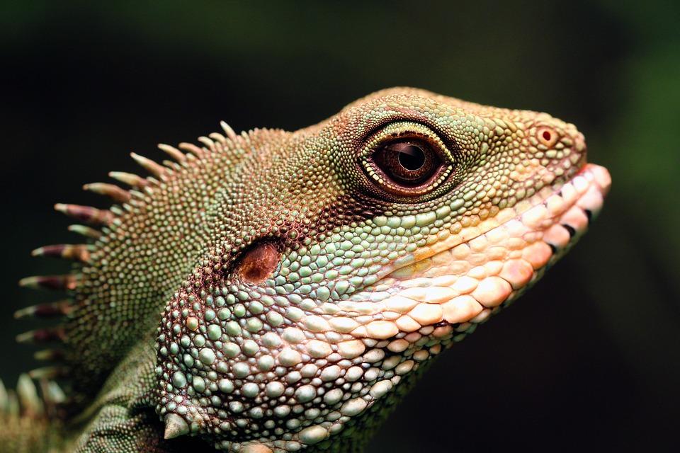 中国の水ドラゴン, 緑色の水ドラゴン, トカゲ, は虫類, ドラゴン, 野生動物, 自然, 野生, 動物, 緑