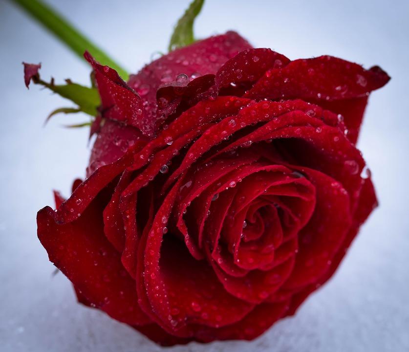 Rose Flower Love Free Photo On Pixabay
