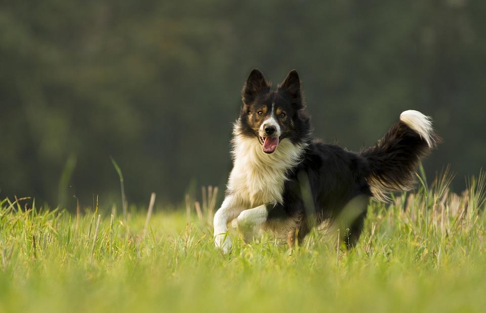 犬, 哺乳動物, 動物, 犬歯, ボーダーコリー, 牧畜犬, シープドッグ