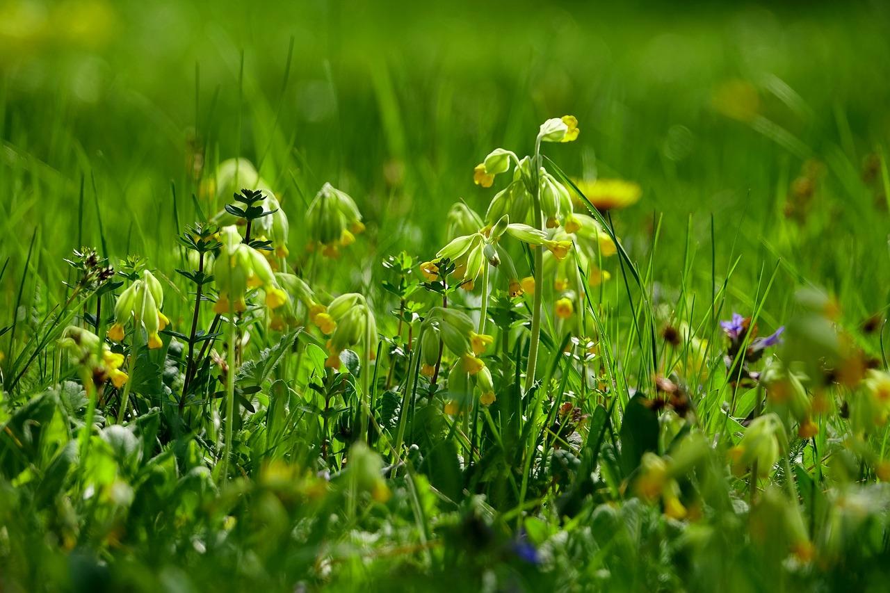 Луговые растение картинки