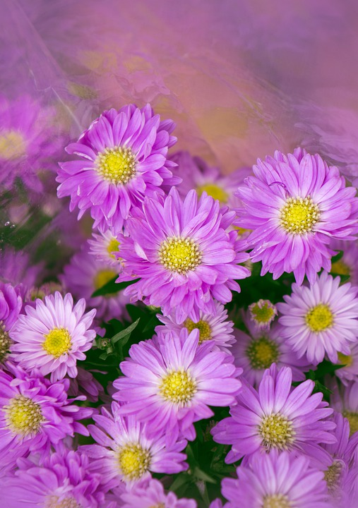 Natural Heather Purple Flowers Background Images