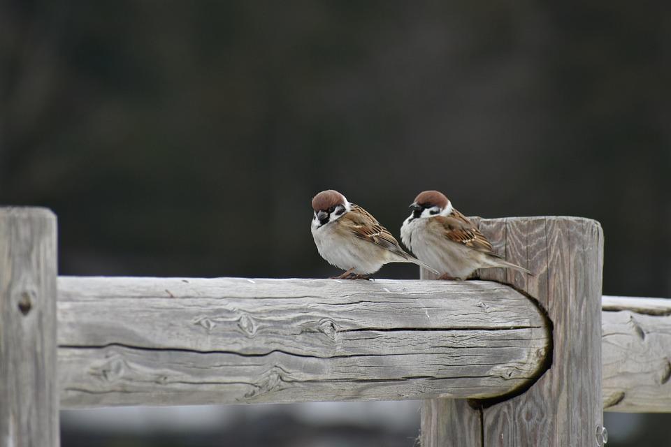 アニマル, 木, 鳥, 野鳥, 小鳥, スズメ, 野性動物, 季節, 冬, 自然, 風景