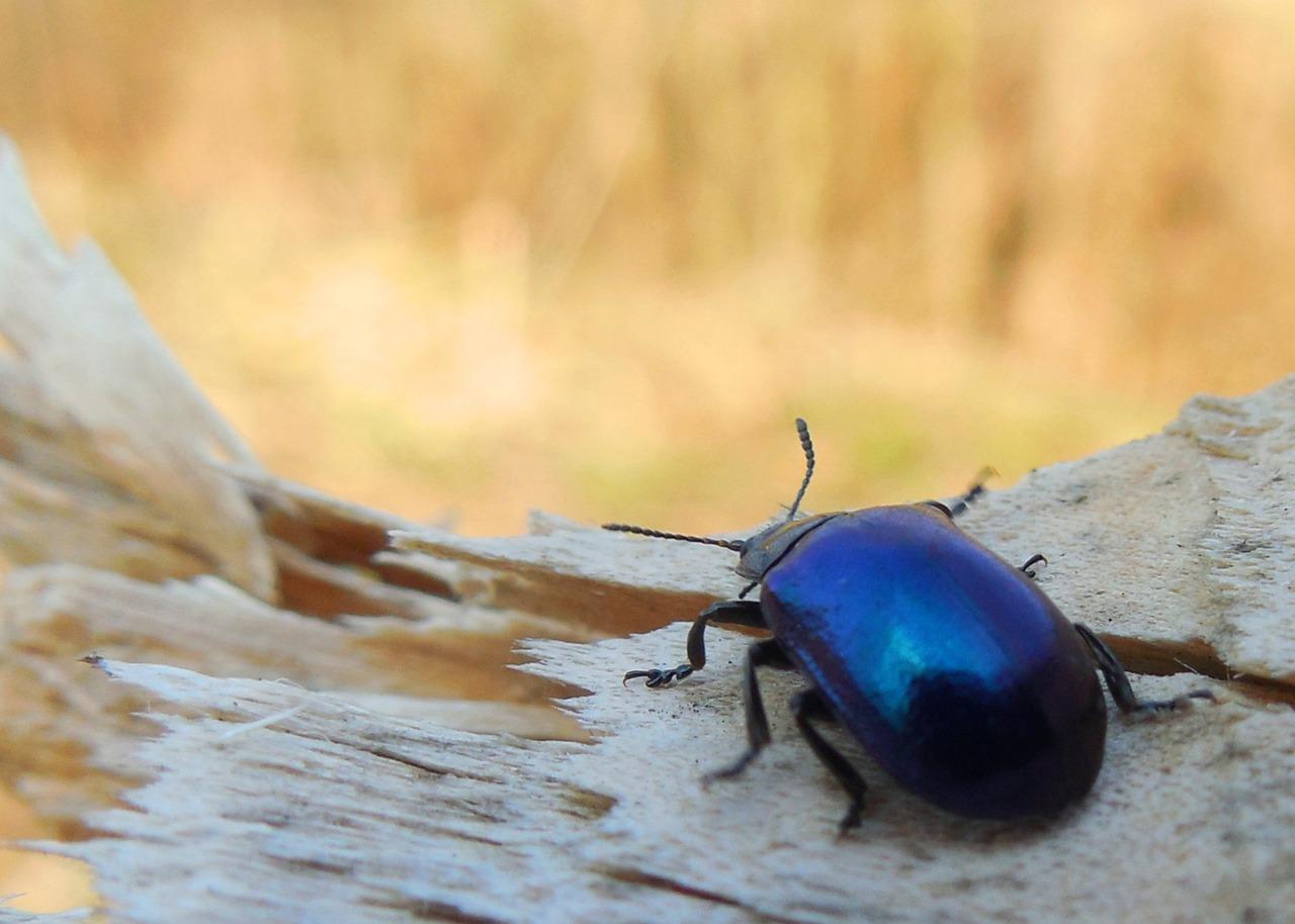 картинка синего жука сайте собраны