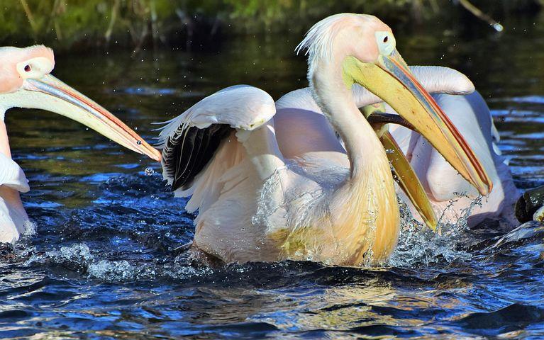 Анимацией двери, картинки с пеликаном для любви