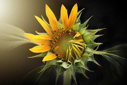 5291 Free Images Of Sunflower