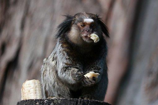 Wildlife, Monkey, Primates, Mammals