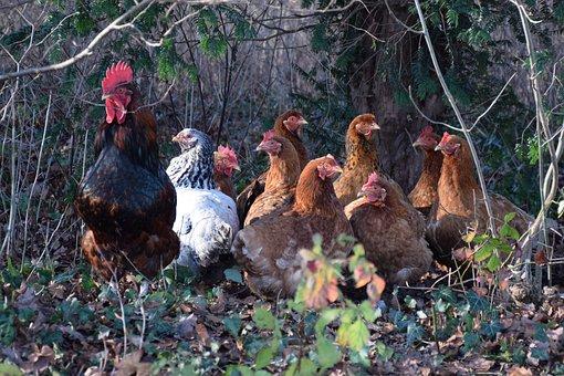 Nature, Birds, Outdoor, Poultry, Farm