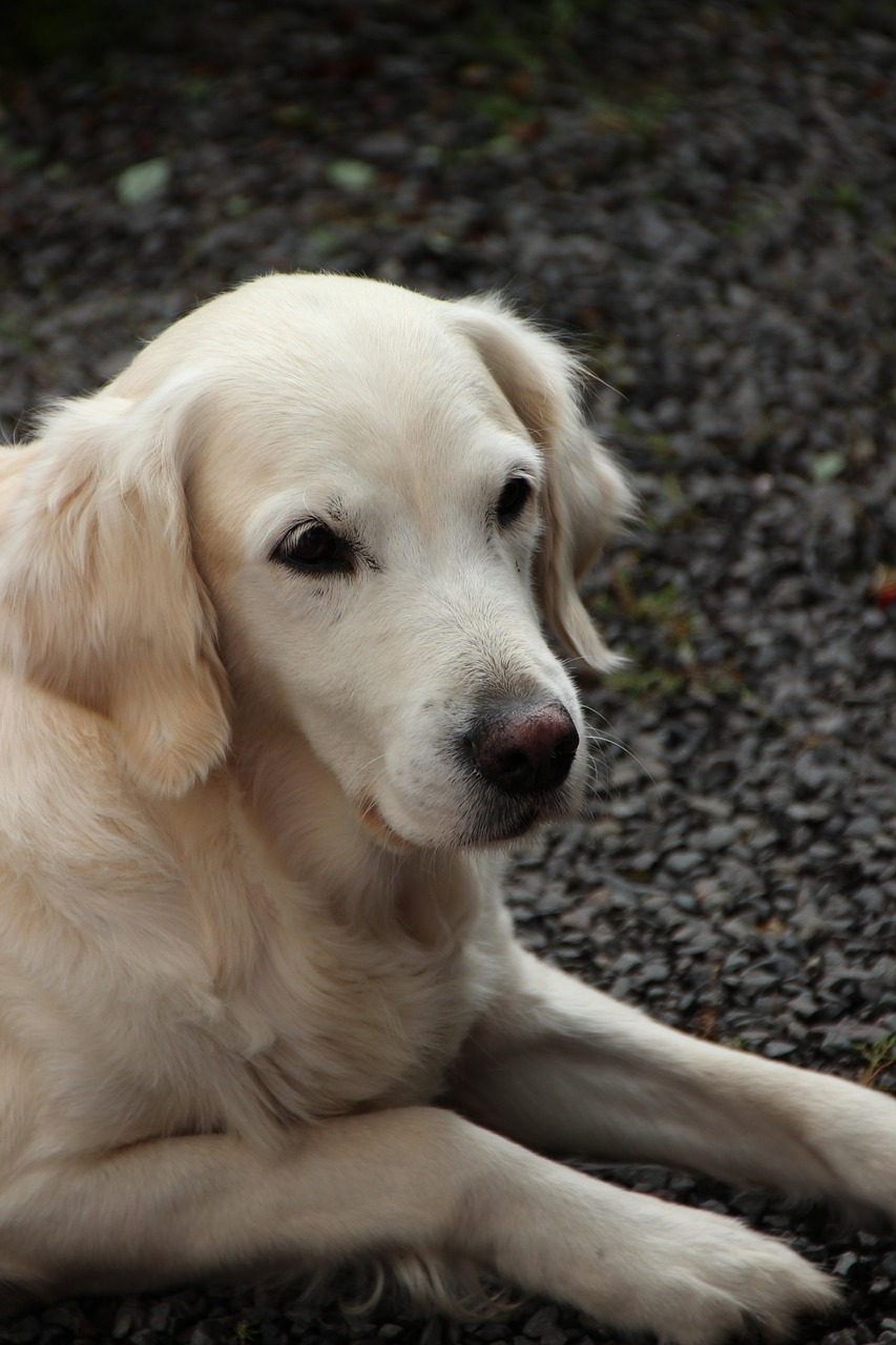 Golden Retriever Dog Cute Free Photo On Pixabay
