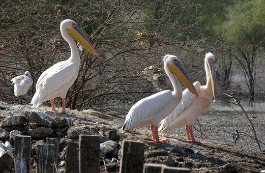 Bird, Great White Pelican
