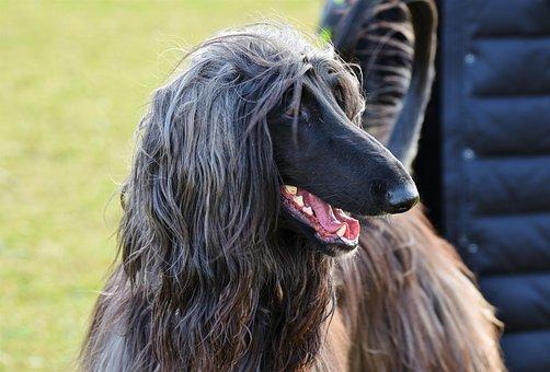 Afghan, Greyhound, Afghan Hound