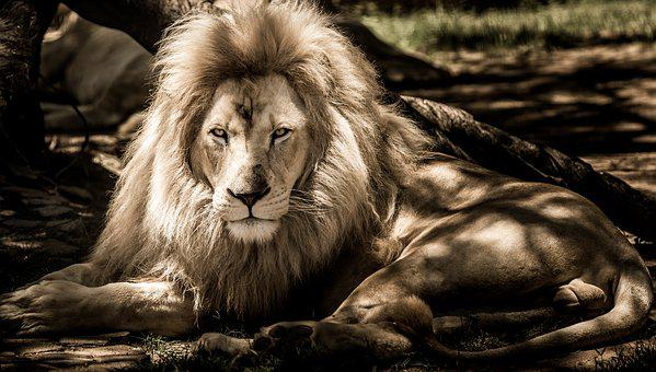 Mammal, Lion, Animal, Portrait, Wildlife