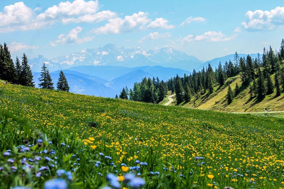 黄色, フィールド, 花, 牧草地, 山の牧草地, 風景, 山, アルプス山脈, 山の風景, 自然, 平和