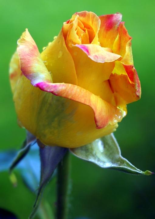 Rose Yellow Flower Free Photo On Pixabay