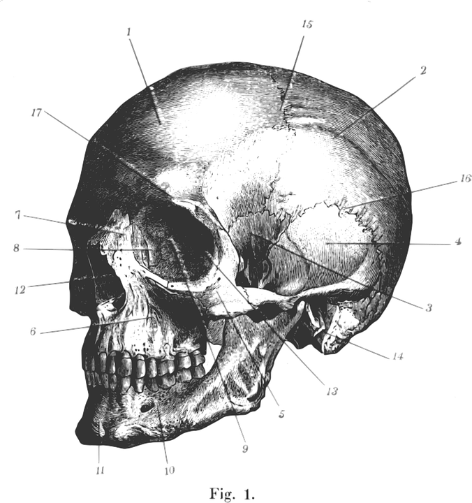 Schädel Profil Gravur · Kostenlose Vektorgrafik auf Pixabay