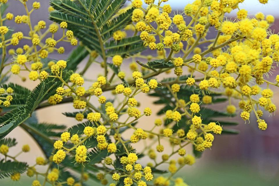 工場, 花, 自然, 葉のミモザ, 黄色の花