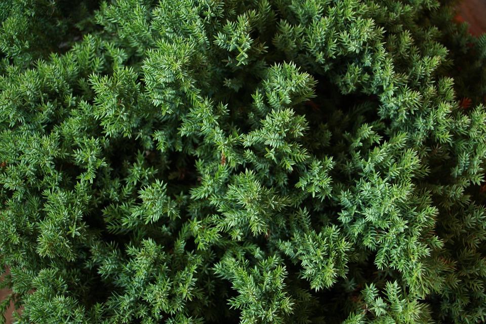 Flora, Leaf, Nature, Spice, Aromatic, Juniper