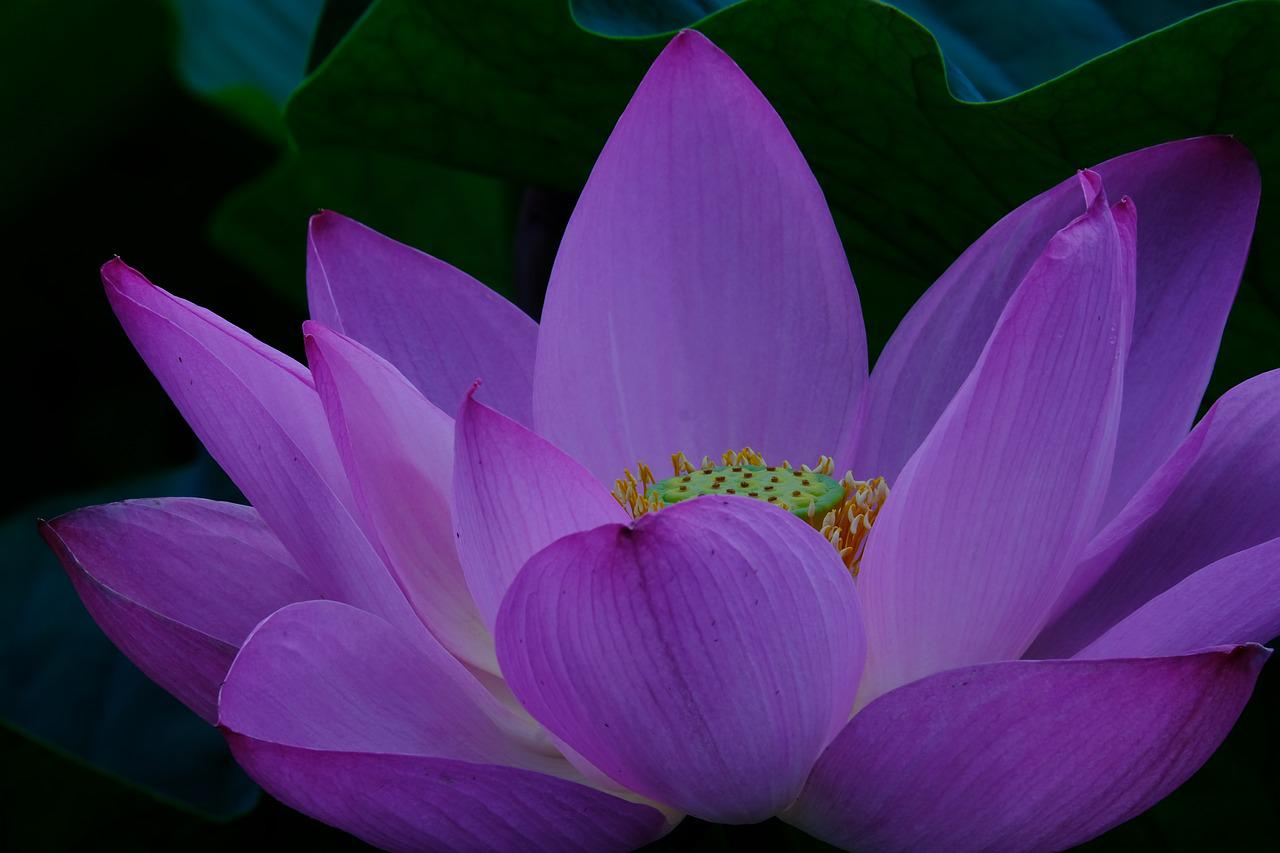 яркий лотос фото лиловый вашу