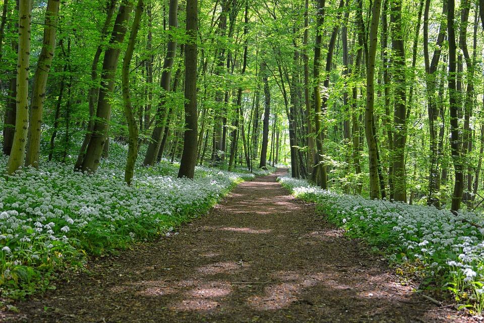 L'Ail Des Ours Au Bord De La Route, Forest, Printemps