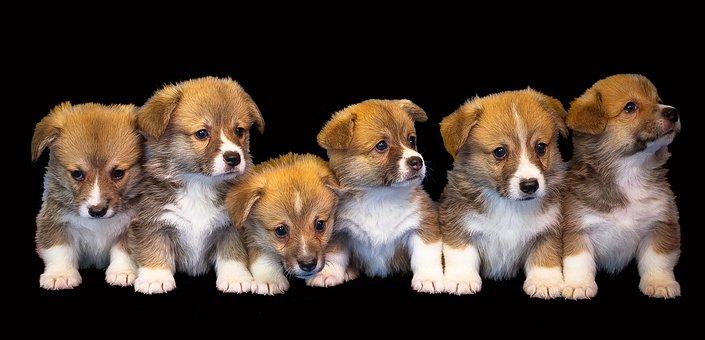 Hund, Dyr, Isolerede, Sød,  Hvalp