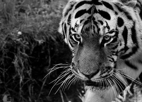 Harimau Putih Gambar Pixabay Unduh Gambar Gambar Gratis