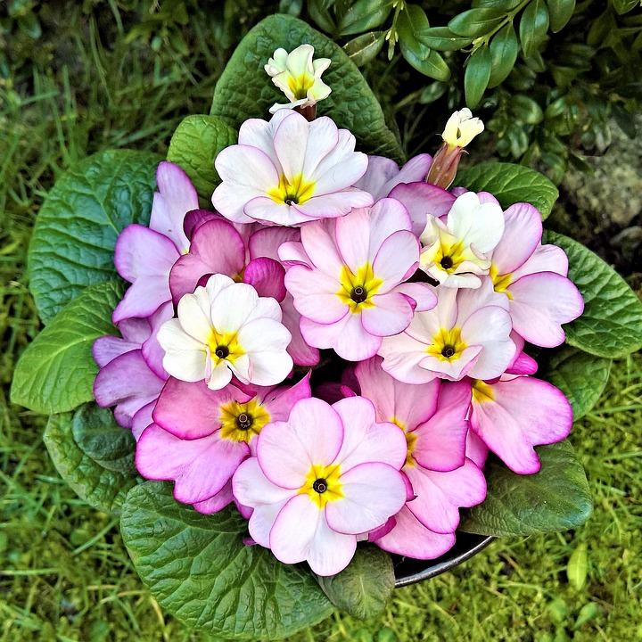 Primroses flowers signs of spring free photo on pixabay primroses flowers signs of spring small pink flowers mightylinksfo