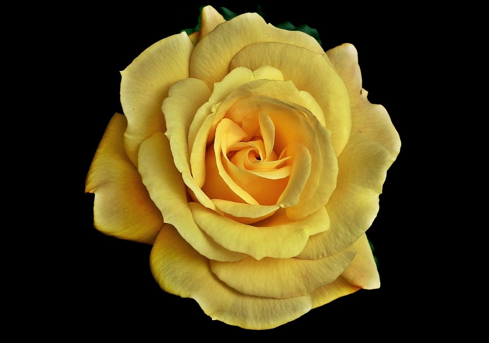 Rose yellow flower free photo on pixabay rose yellow flower petal blooming love closeup mightylinksfo