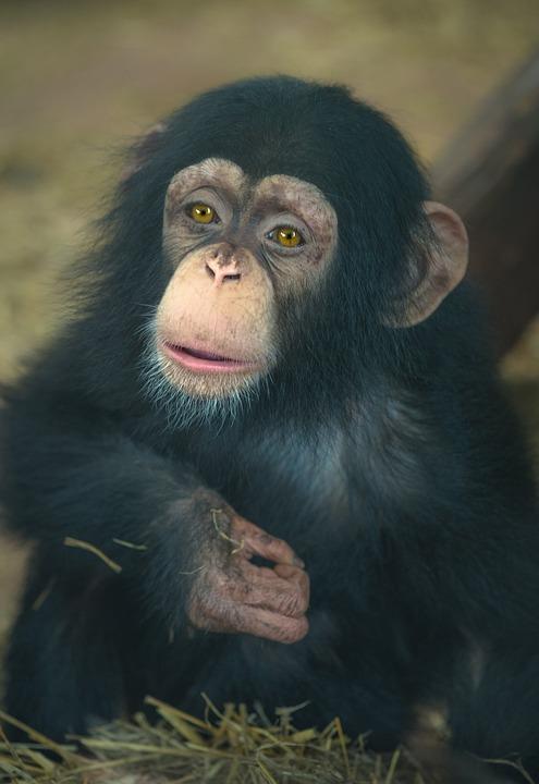 Chimp Baby Monkey 183 Free Photo On Pixabay