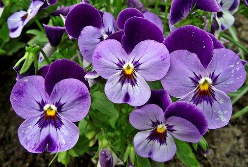 Fleurs de pens e images gratuites sur pixabay - Image fleur violette gratuite ...