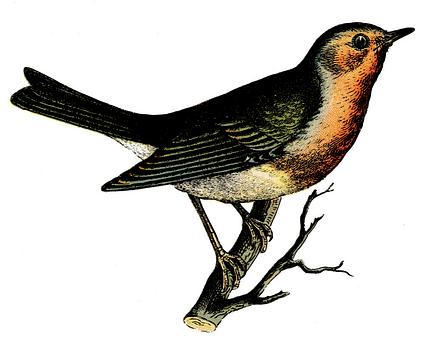 Fågel, Färg, Vintage, Gravyr, Natur