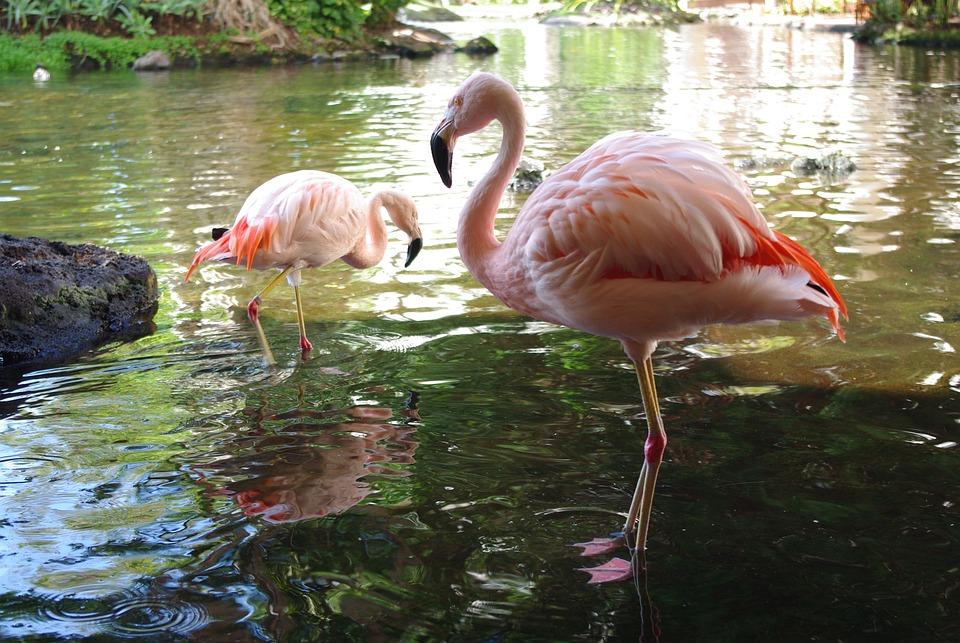 Бассейн, Птица, Природа, Воды, Живая Природа, Фламинго